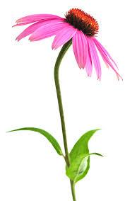 Echinacea Herb Flower