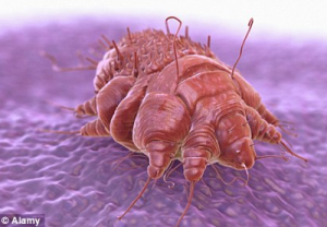 Graphic view of the Scabies mite